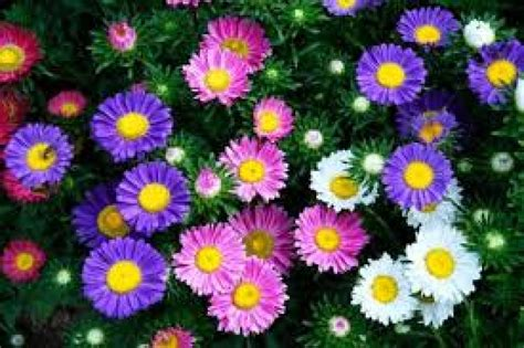Single Mixed China Aster Flowers Seeds Callistephus