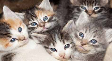 calico cats kittens why female she always physiological almost reason walking had laughingsquid