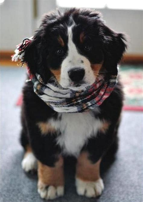 8 cutest bernese mountain dog puppies pictures all puppies holidays pinterest