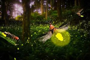 How And Why Does A Firefly Glow   U00bb Science Abc