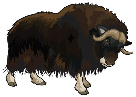 Yak Clipart Yak Clipart Buffalo Pencil And In Color Yak Clipart Buffalo