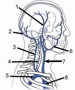 35 Label Arteries And Veins Quiz
