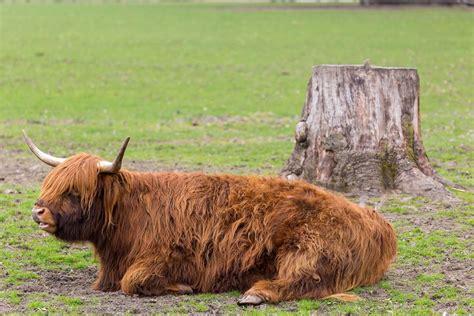 Janine L Italien Kyloe Rind Im Lindenthaler Tierpark Bilder Und Fotos