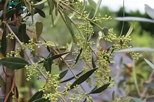 Zitruspflanzen Gelbe Blätter : fruchtolive 39 cipressino 39 ~ Orissabook.com Haus und Dekorationen