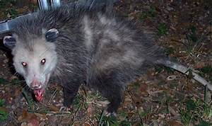 Evil Possum | www.pixshark.com - Images Galleries With A Bite!