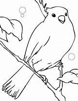 Canary Coloring Pages Animals Template Cu Imagini Printable Desene Songbirds Coloringhome sketch template