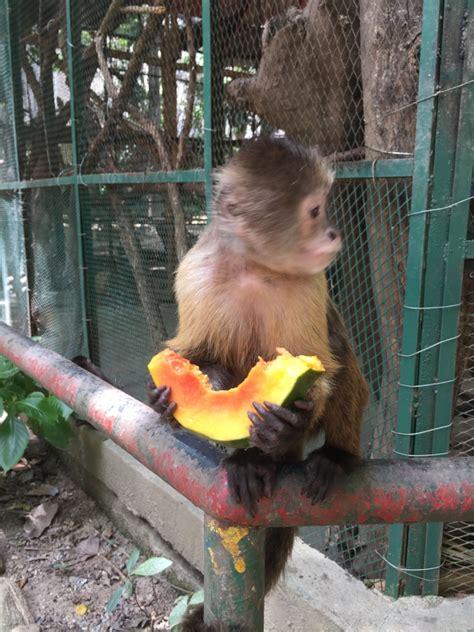 zoo sai lunch break fruit animal endangered fund rescue monkey takes venezuelan venezuela