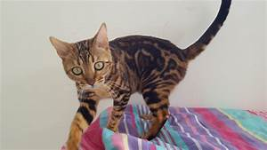 Kinglake Bengals - bengal kittens for sale Gold Coast ...