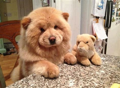 10 Cute Puppies That Look Just Like Teddy Bears Blaze Week