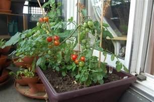 tomaten pflanzen balkon tomaten auf dem balkon pflanzen tipps zur richtigen pflege im kübel