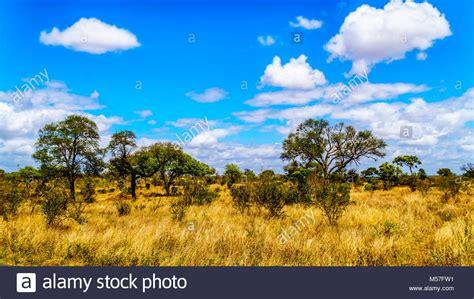 prati e alberi nella savana paesaggio nel parco nazionale di kruger in sud africa