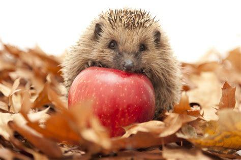 Igel Im Garten Herbst by Igel Im Herbst Tiere Im Herbst Kinder Igel Im Herbst Und
