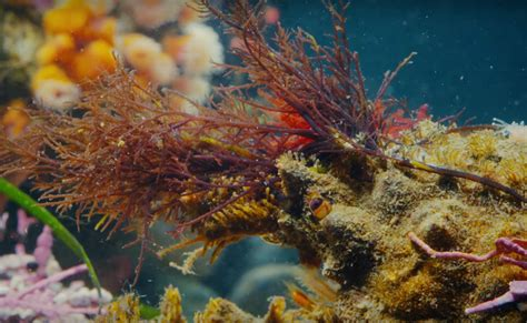 decorator crabs are the masters of camouflage reef