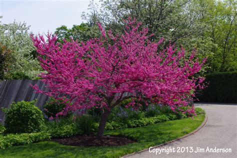 small shade trees smaller shade trees for your yard including 6 natives