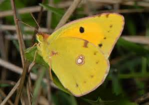 Yellow Butterfly Identification