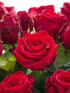 Hornspäne Für Rosen : rosen red naomi rot bestellen blumigo ~ Eleganceandgraceweddings.com Haus und Dekorationen