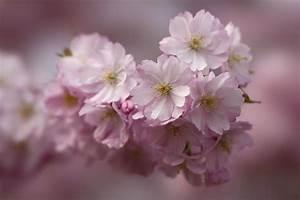 Rosa Blühende Bäume April : rosa fr hling foto bild pflanzen pilze flechten b ume blatt bl te bilder auf ~ Michelbontemps.com Haus und Dekorationen