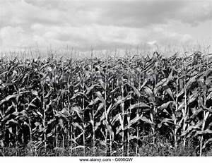 Field Agriculture Americana Corn Stock Photos & Field ...