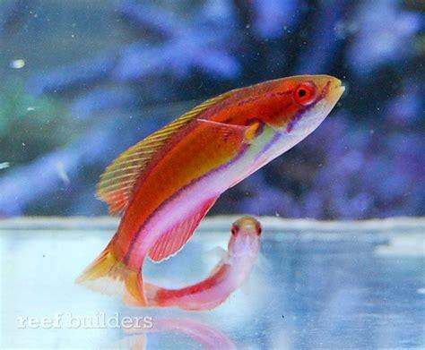 paracheilinus piscilineatus  mauritius flasher wrasse