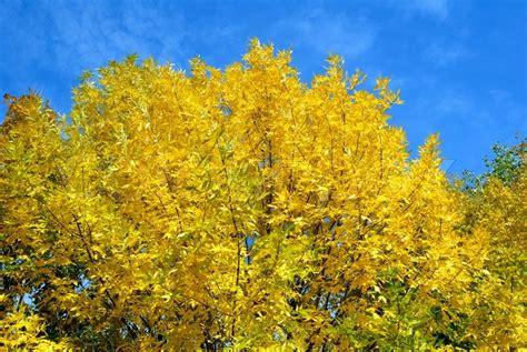 gelbe bl 228 tter auf b 228 ume im herbst gegen den blauen himmel