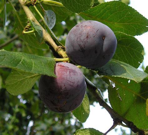prune tree prune tree pixdaus