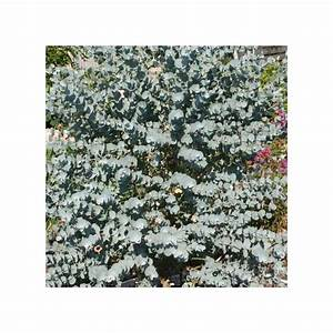 Eucalyptus Plante D Intérieur : eucalyptus 39 azura 39 plantes et jardins ~ Melissatoandfro.com Idées de Décoration