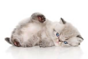 shorthair cat for the shorthair cat cat breeds encyclopedia