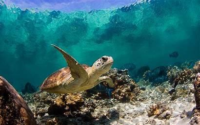 Turtle Underwater Sea Wallpapers Ocean