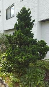 Was Ist Das Für Ein Baum : was ist das f r ein nadelbaum baum botanik ~ Watch28wear.com Haus und Dekorationen
