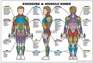 Male Muscle Guide Poster