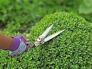 Comment Tailler Les Orchidées Pour Qu Elles Refleurissent : buis arbuste tout ~ Melissatoandfro.com Idées de Décoration