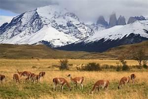 Guanaco Herd In Torres Del Paine Torres Del Paine