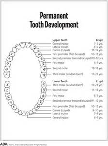 Permanent Tooth Chart