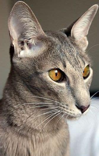 The Oriental Shorthair Cat  Cat Breeds Encyclopedia