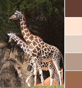 what color are giraffes getaway color ways carolina zoo