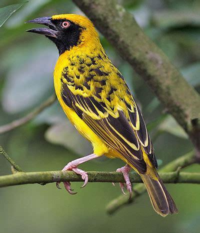 south weaver bird weaver bird birds beautiful pinterest bird beautiful birds and colorful birds