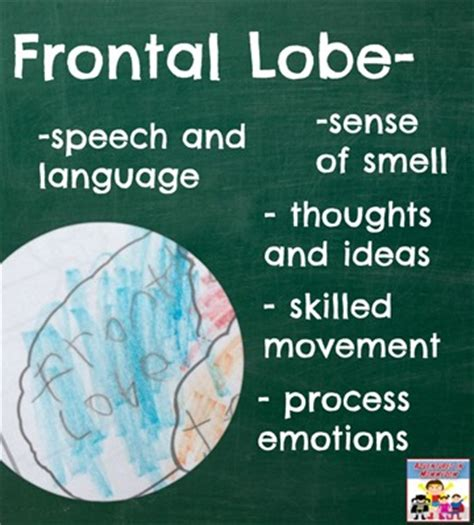 Parts of the Frontal Lobe of the Brain
