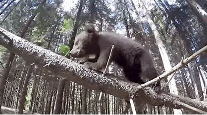 Outdoors Bear Rescued Cubs Play Ifaw Ever