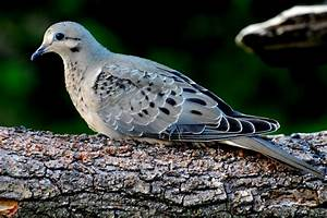 Juvenile Mourning Dove – Photography by Tom Sisemore