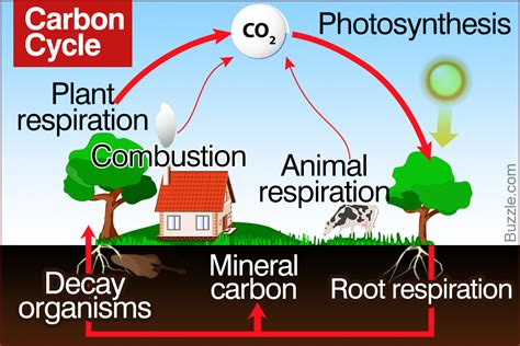 A Brief Guide To The Steps Of The Carbon Cycle