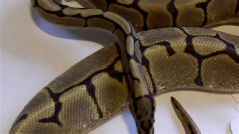 Python Shedding Signs by Signs Of Gravid Python Females