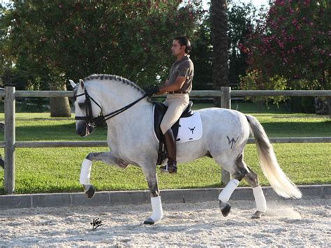 andalusian horse stallion horses riding