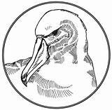 Albatross Coloring Clipart Drawing Sketch Template sketch template