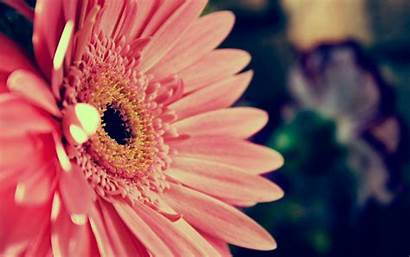 Daisy Pink Wallpapers