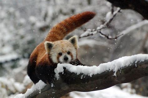 red panda   snow flickr photo sharing