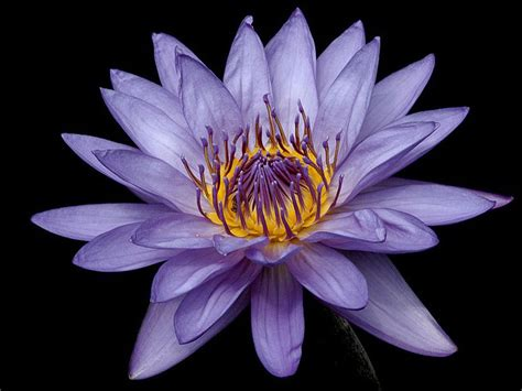 lilys flower wallpapers water lily flowers wallpapers