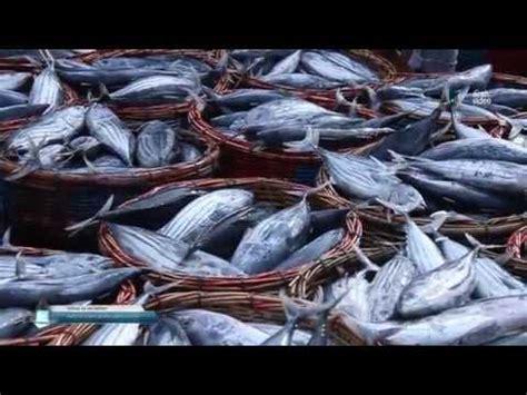 ikan tongkol melimpah youtube