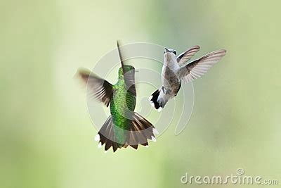 hummingbirds mating dance royalty free stock image image