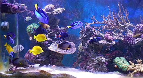 poisson en aquarium poissons tropicaux et p 234 che au cyanure