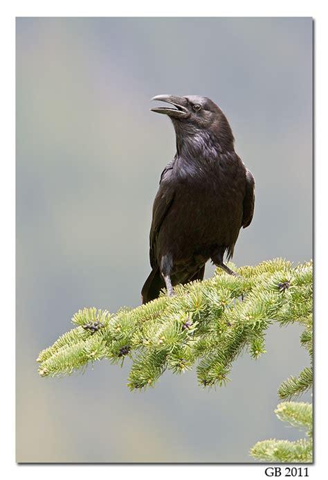 Raven America  Autos Post